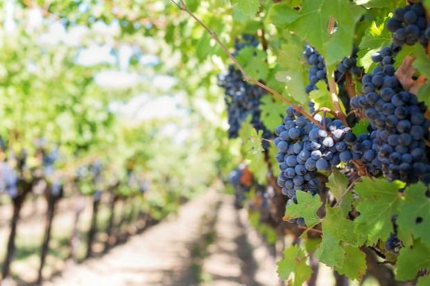 Włochy: Upały powodem wczesnego winobrania