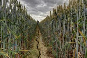 IUNG: Susza rolnicza ustąpiła
