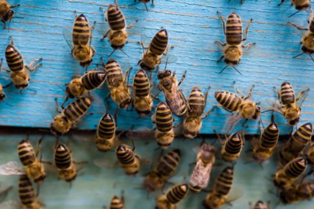 8 sierpnia - Wielki Dzień Pszczół