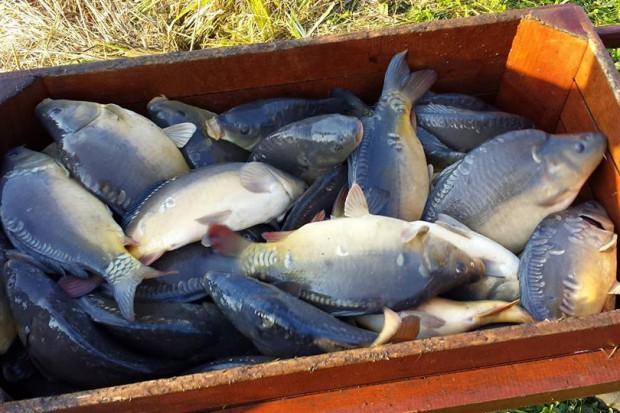 """""""Polska Ekologia"""": Ryby najlepiej kupować z hodowli tradycyjnej"""