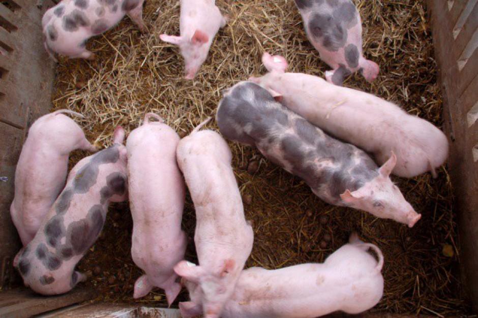 Bezwirusowe świnie do przeszczepów
