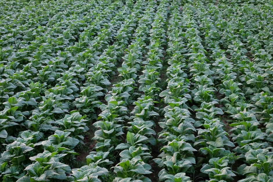 Plantacje tytoniu: Rolnicy dostaną gwarancję zbytu