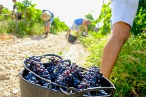 Francja: Zbiory winogron będą mniejsze, ale jakość wysoka