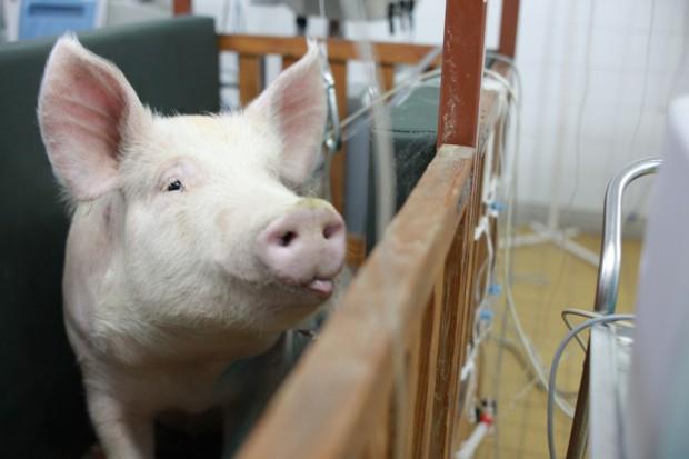 ASF w Polsce: Ponad 1300 rolników z okolic Białej Podlaskiej rezygnuje z chowu świń