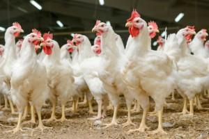 Polscy producenci drobiu chcą ponownie eksportować do Chin