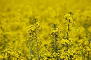 Słaba jakość tegorocznych nasion rzepaku