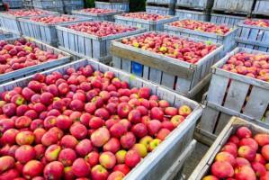 Spadły ceny jabłek przemysłowych na Mazowszu