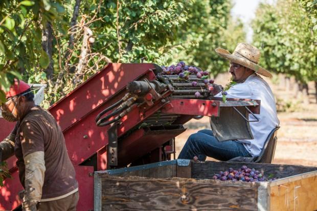 Śliwka kalifornijska cieszy się coraz większym uznaniem polskich konsumentów