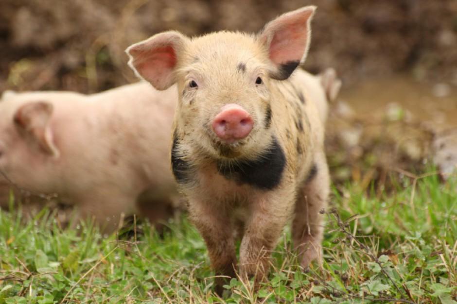 Pomoc dla producentów świń