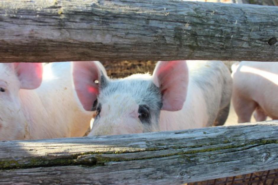 ASF w Polsce: Jedno nowe ognisko choroby u świń, 9 przypadków - u dzików