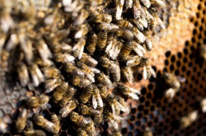 Pszczele mleczko to eliksir długowieczności