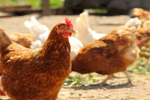 Japonia i Białoruś zniosły zakaz importu drobiu z Polski