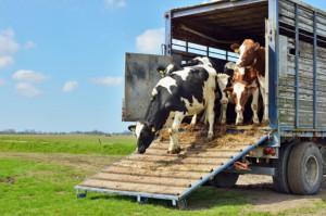 W środę międzynarodowa akcja przeciwko transportowi żywych zwierząt