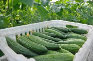 Wzrosły zbiory warzyw szklarniowych w Rosji
