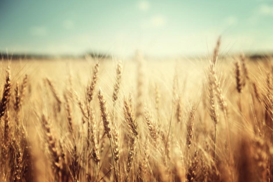 USDA: Prognoza większej produkcji pszenicy i zbóż paszowych