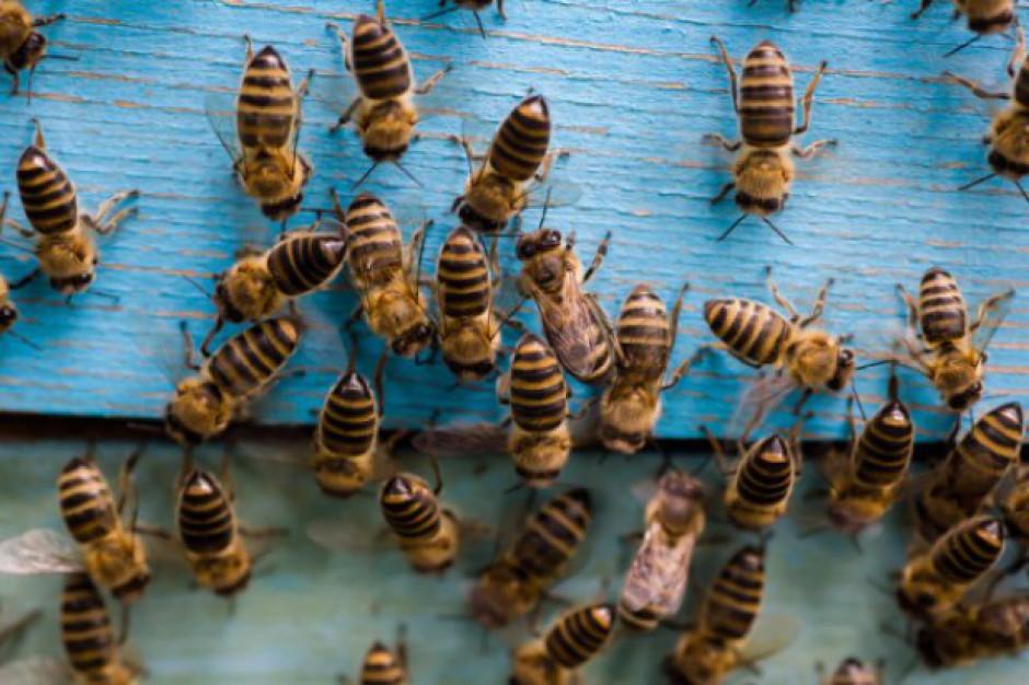 MRiRW: Na wsparcie pszczelarstwa w Polsce przeznaczono ponad 185 mln zł
