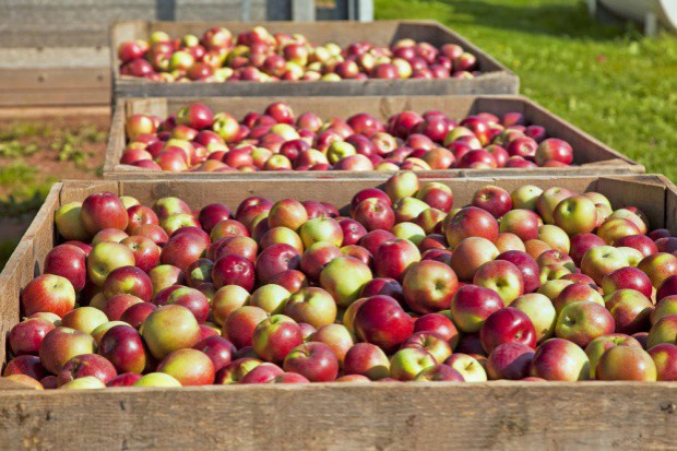 TRSK: W ciągu 20 lat spożycie jabłek w Polsce spadło z 25 do 12 kg per capita