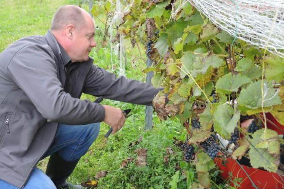 W Podkarpackiej Akademii Wina ruszyło winobranie; to był trudny rok i niskie plony
