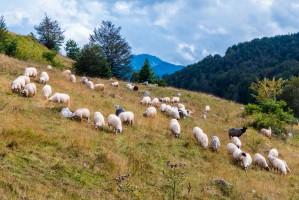 Kończy się tegoroczny wypas owiec na górskich pastwiskach