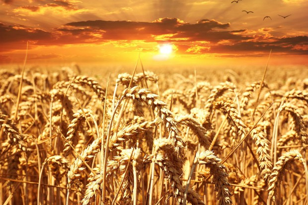 Wysoka produkcja pszenicy w UE, Rosji i na Ukrainie