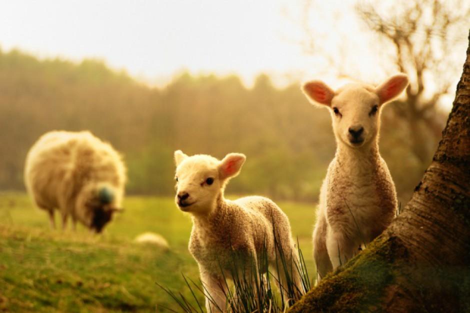 Na Węgrzech coraz więcej osób zajmuje się hodowlą owiec