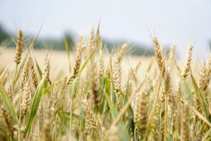 Coraz wyższe prognozy zbiorów pszenicy