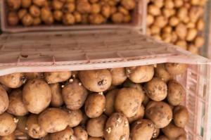 IERiGŻ: Zbiory ziemniaków w Polsce szacuje się na ok. 9 mln ton