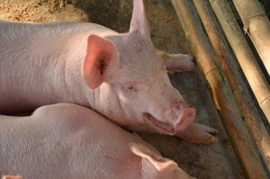 UE: Ceny świń rzeźnych ponownie spadły