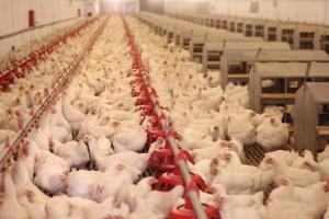 IERiGŻ: Poprawia się opłacalność produkcji kurcząt
