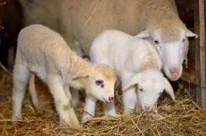 IERiGŻ: Zmienne tendencje cen jagniąt