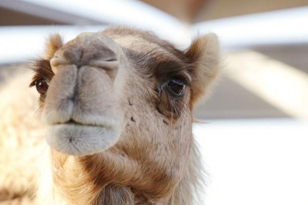 Asda sprzedaje wielbłądzie mleko. To nowy trend?