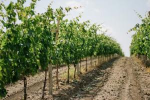 Winogrona służą zdrowiu i urodzie