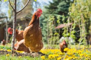 Włochy walczą z grypą ptaków