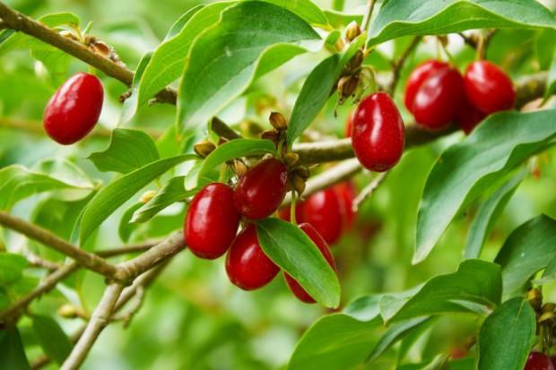 Owoce derenia coraz popularniejsze