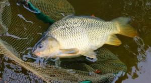 Prezes Związku Producentów Ryb: Spada opłacalność hodowli karpia