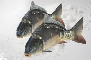 Hurtownie Makro sprzedają karpia z gospodarstw rybackich całej Polski