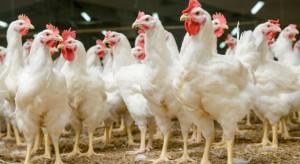 W Holandii nakaz zamknięcia drobiu w pomieszczeniach w związku z ptasią grypą