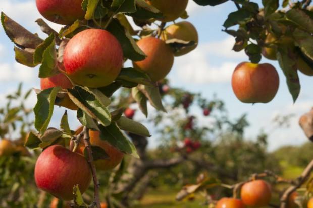 GUS: Zbiory owoców z drzew niższe od ubiegłorocznych o 1/3