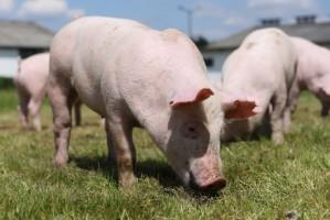 ARiMR: Refundacja 80 proc. kosztów bioasekuracji gospodarstw ze stref ASF