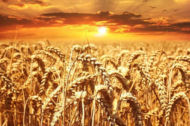 Początek roku ze wzrostem cen zbóż