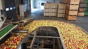Zdjęcie numer 1 - galeria: Rajpol: Dostawy naszych owoców do Lidla generują ¼ obrotów firmy (galeria zdjęć)