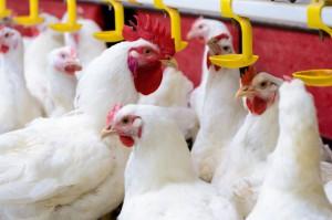 IERiGŻ: Branża drobiarska wciąż odczuwa skutki grypy ptaków