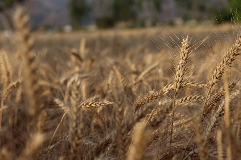 Jeszcze większe prognozy światowych zbiorów pszenicy, ale mniejsze dotyczące całkowitej podaży