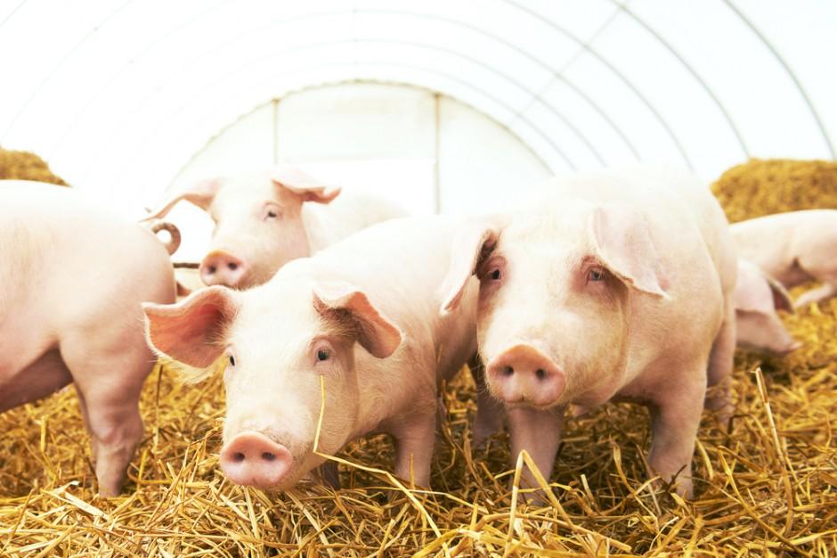 Ukraina wstrzymuje import trzody chlewnej i wieprzowiny z woj. warmińsko-mazurskiego