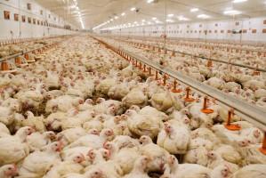 KRD-IG obala 7 mitów na temat hodowli drobiu w Polsce