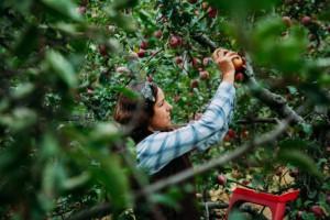 Resort rolnictwa proponuje nową umowę - o pomocy przy zbiorach