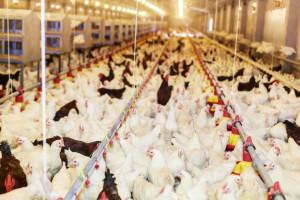 Produkcja drobiu hamowana przez epidemię grypy ptaków