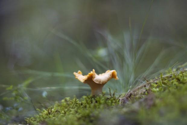 Grzyby także zimą: W polskich lasach pojawiły się kurki
