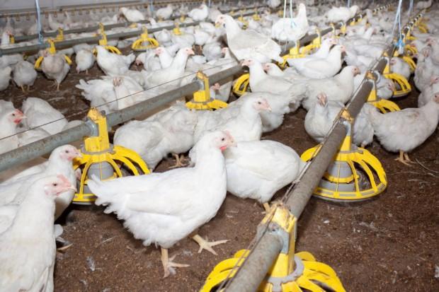 KIPDiP: Wzmacniająca się złotówka może być gorsza dla drobiarstwa niż grypa ptaków