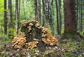 Naukowcy badają medyczne zastosowanie grzybów z Puszczy Białowieskiej